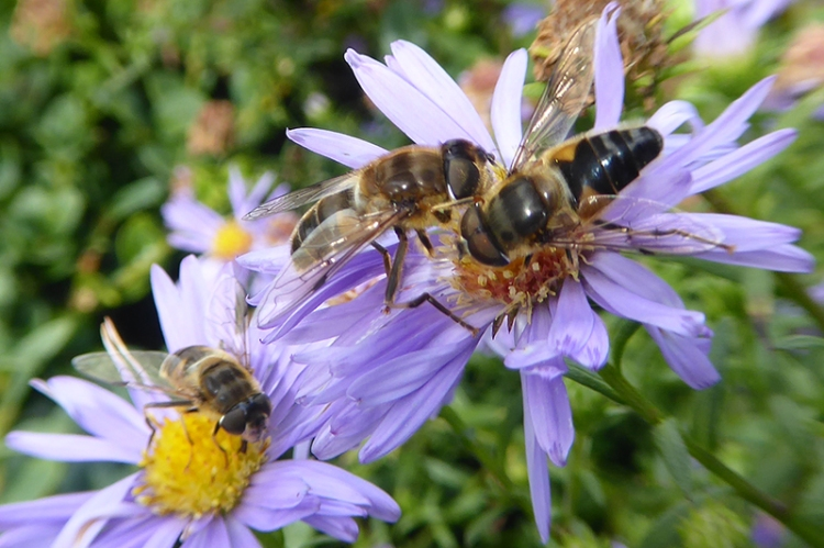 bees on daisies