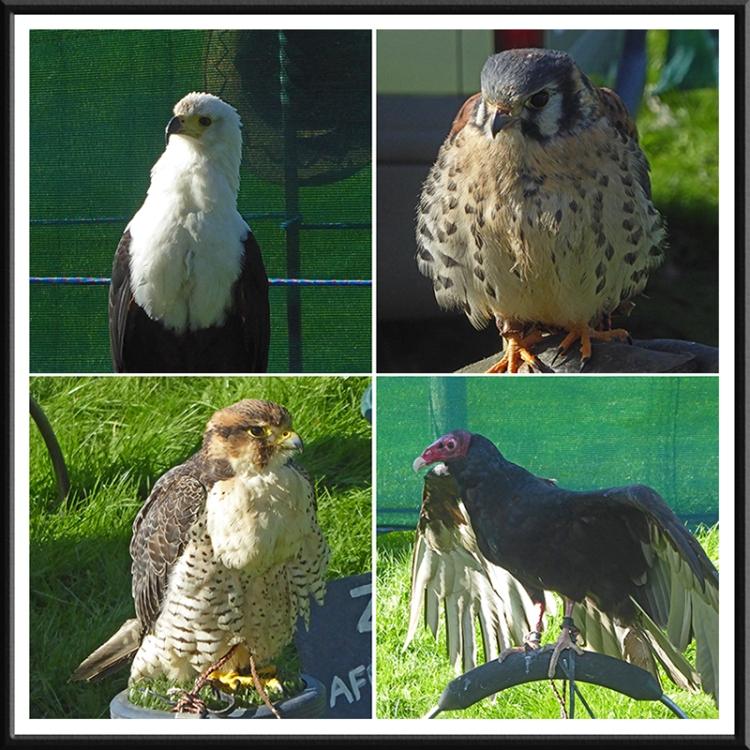birds of prey at show