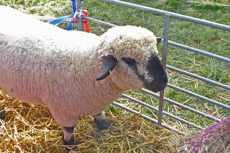 black nose sheep at show