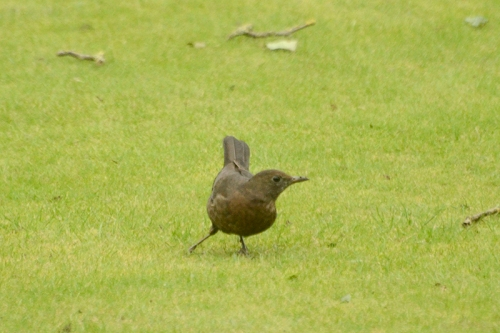 blackbird dancing on lawn