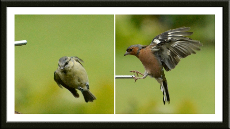 Blue tit and chaffinch