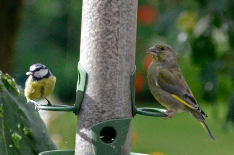 blue tit and greenfinch