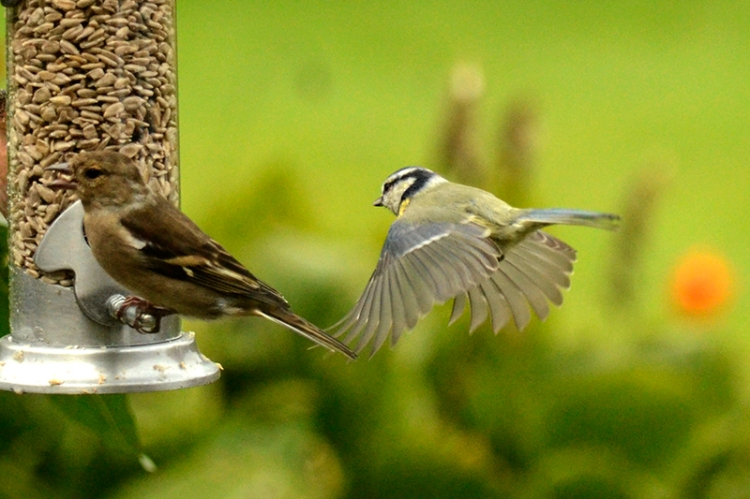 blue tit coming to new feeder