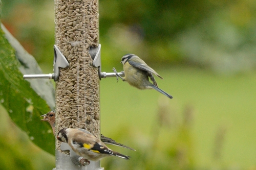 blue tit on new feeder