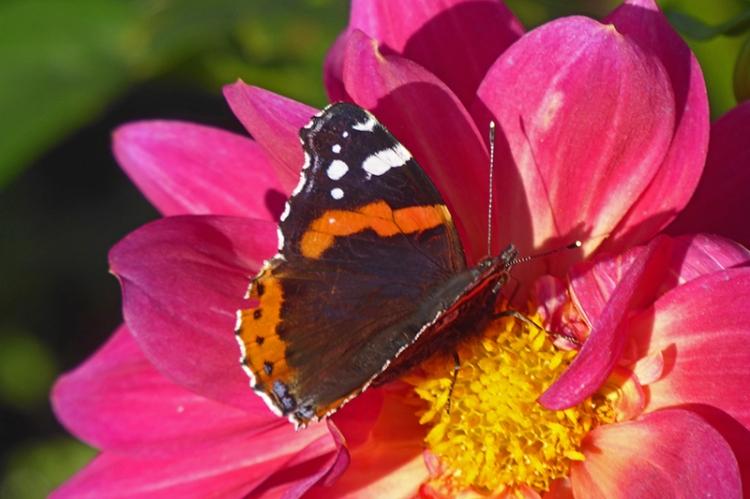 buttefly on dahlia