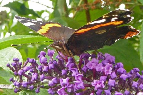 butterfly head 2