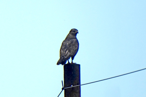 buzzard pn pole