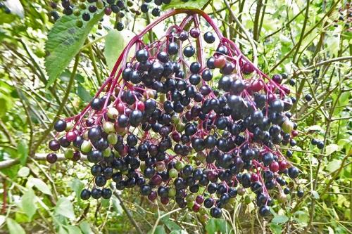 caerlaverock elderberries