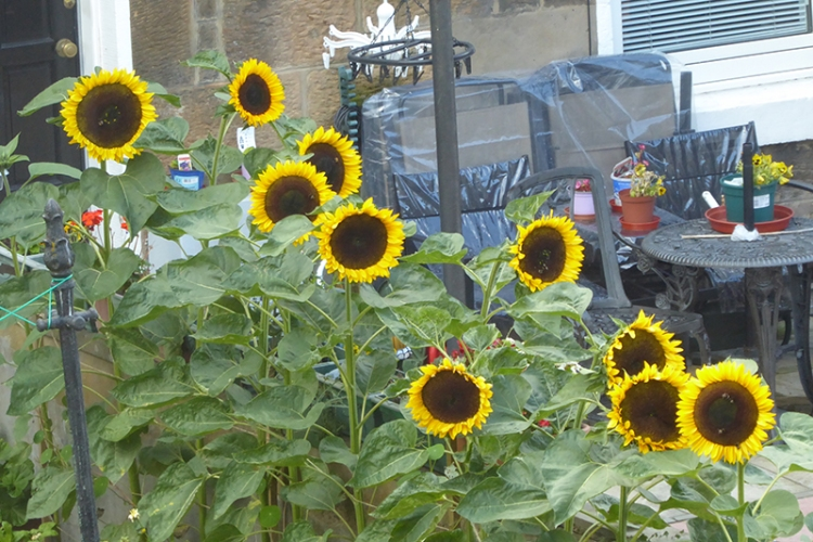 Carlyle Place sunflowerrs
