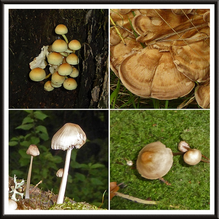 castleholm fungus
