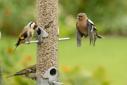 chaffinch approaching goldfinch