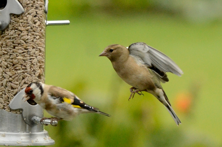chaffinch approaching new feeder