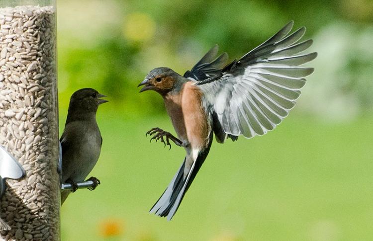 chaffinch arguing