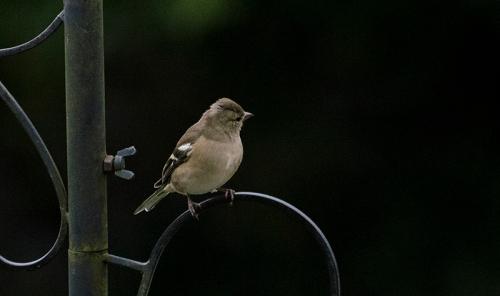 chaffinch posing