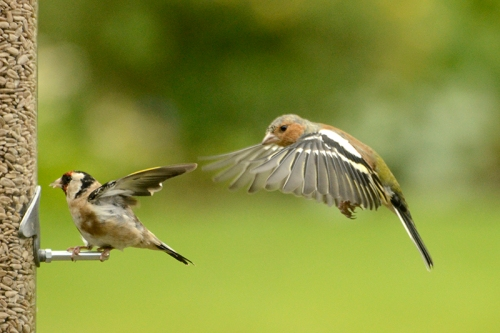 chaffinch putting the hex on goldfinch