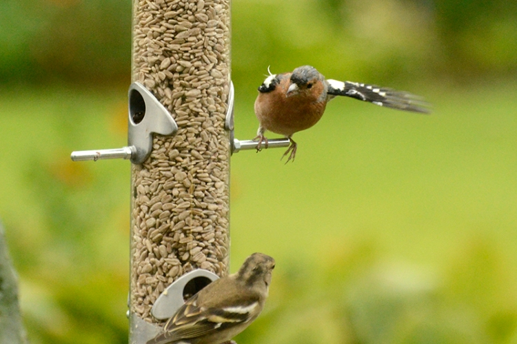 chaffinch showing the way