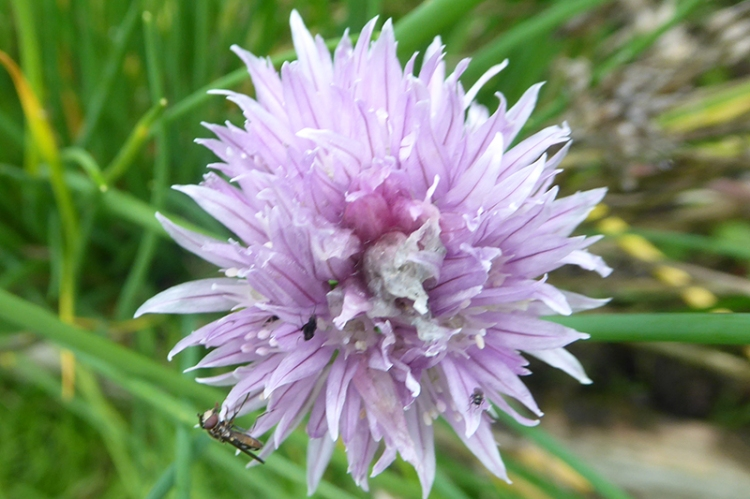 chive with insects