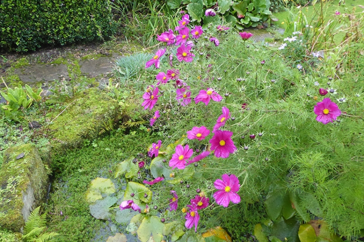 cosmos drooping