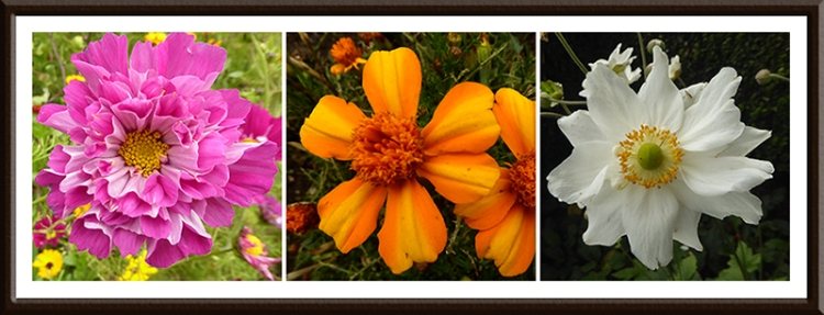 cosmos, marigold and anemone