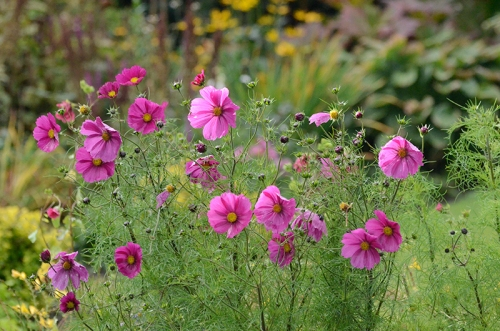 cosmos with dead heads