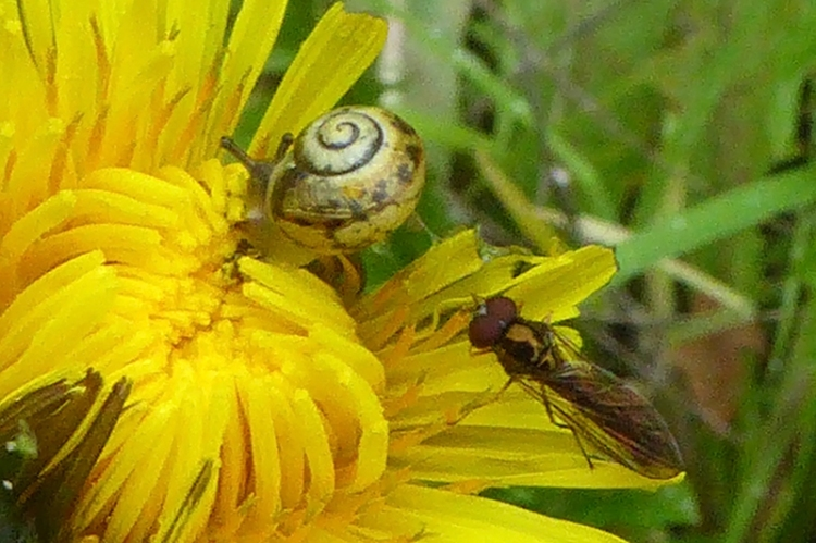 dandelion with snail and fly