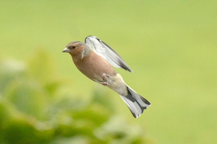 diagonal flying chaffinch