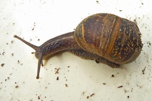 Edinburgh snail