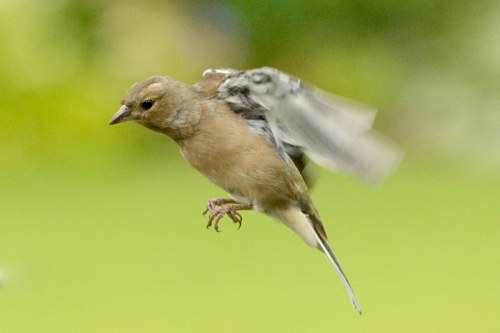 flying chaffinch (2)