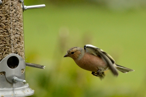 flying chaffinch at new feeder