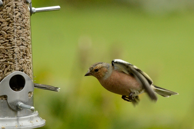 flying chaffinch at new feeder