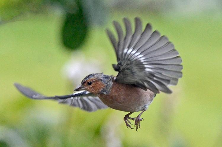 flying chaffinch in shadow