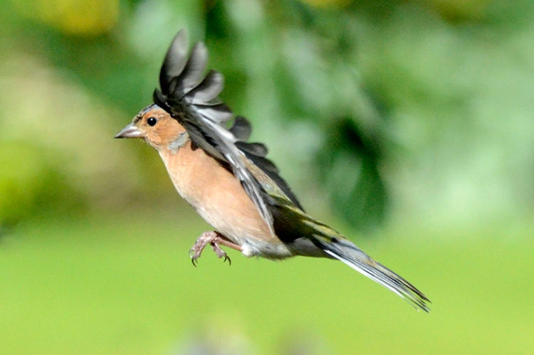 flying chaffinch in sunshine