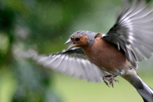flying chaffinch shouting