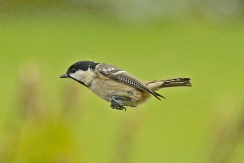 flying coal tit