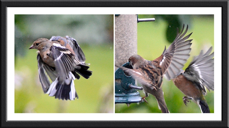 flying sparrow and chaffinch in unison