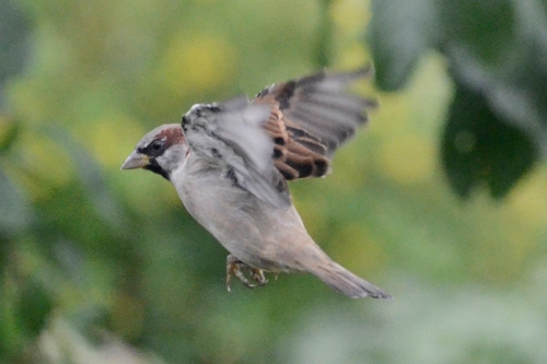 flying sparrow