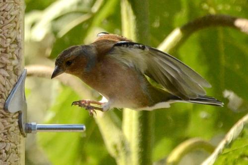 flyinh chaffinch
