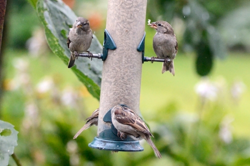four sparrows