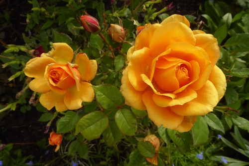 golden wedding roses Sept 18