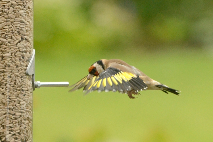 Goldfinch swimming to the feeder