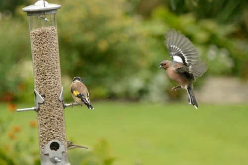 goldfinches and chaffunch