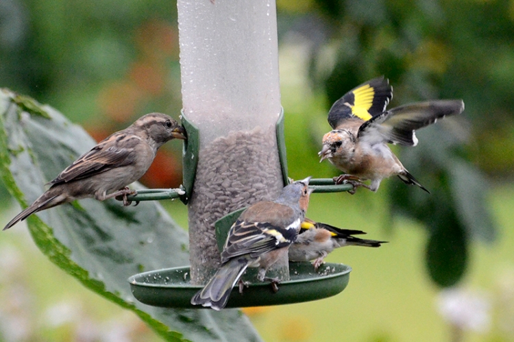goldfinches arguing