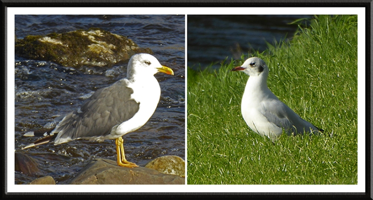 gulls by river