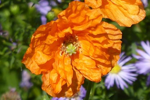 icelnadic poppy