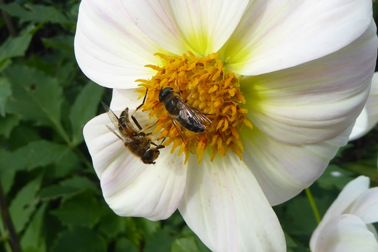 insects on dahlia