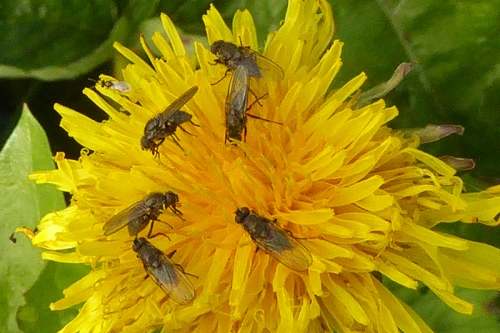 insects on dandelion