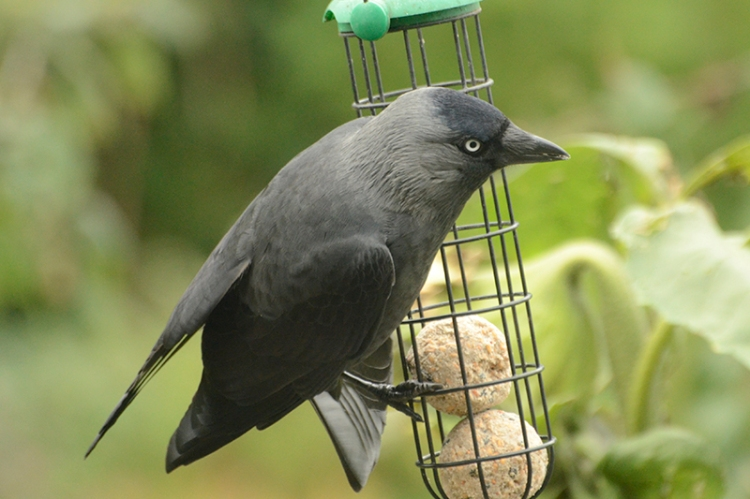 jackdaw swing on the fat balls
