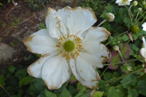 japanese anemone tatty