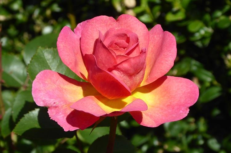 Lilan Austin rose