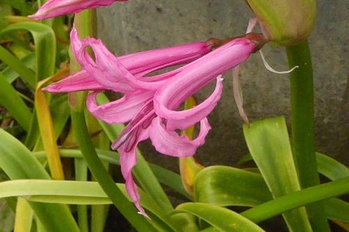 nerine flowering